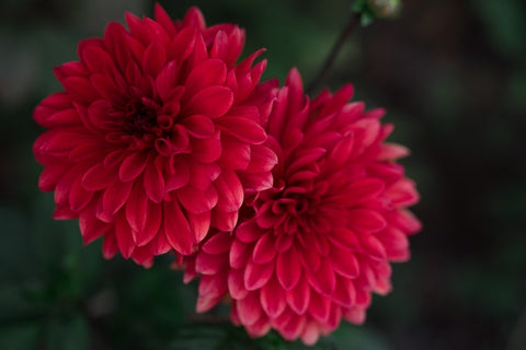 valentine's day chrysanthemums