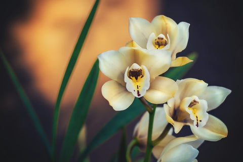 varieties of orchids