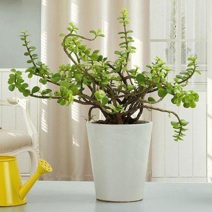Beautiful Jade Plant - Send Flowers to India