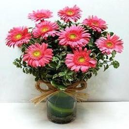 Light Pink Gerbera - for Flower Delivery in Category | Flowers | Chrysanthemum