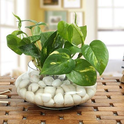 Moneyplant In Glass Bowl - from Best Flower Delivery in India