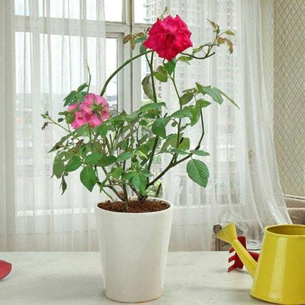 Rose Plant - Send Flowers to India