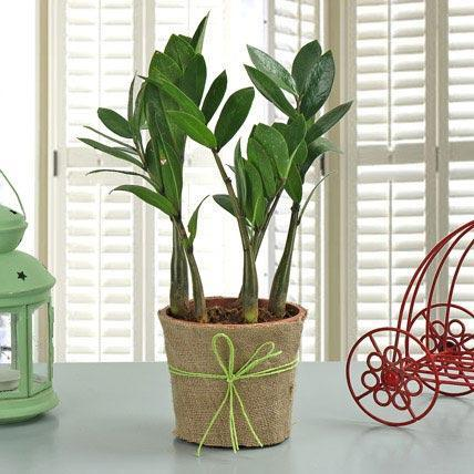 Zamioculcas Plant - for Midnight Flower Delivery in India