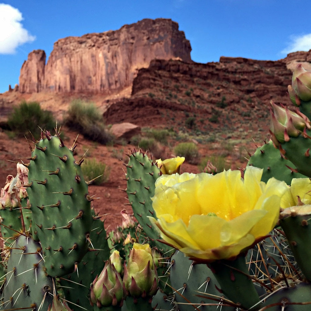 White Rim Trail Desert Cactus Flower Blooming