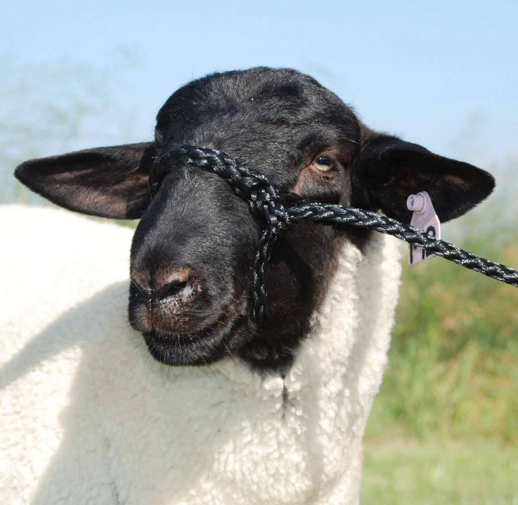 Sheep. Goat.  Rope halter.