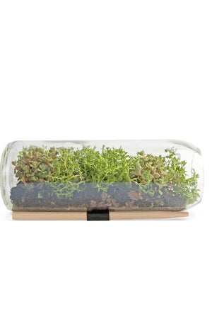 Sedum Terrarium Grow Kit