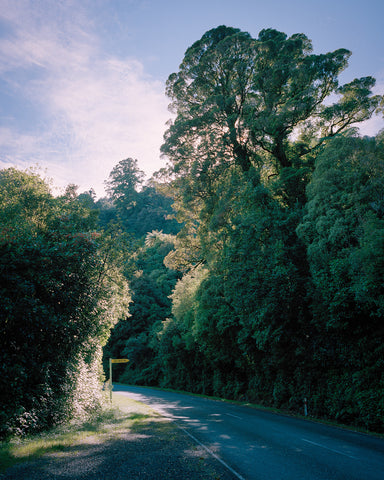 Large Matai Tree, Karamea Highway