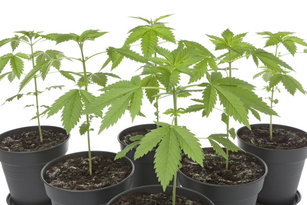 Tips on How to Grow a Medical Cannabis Plant at Home