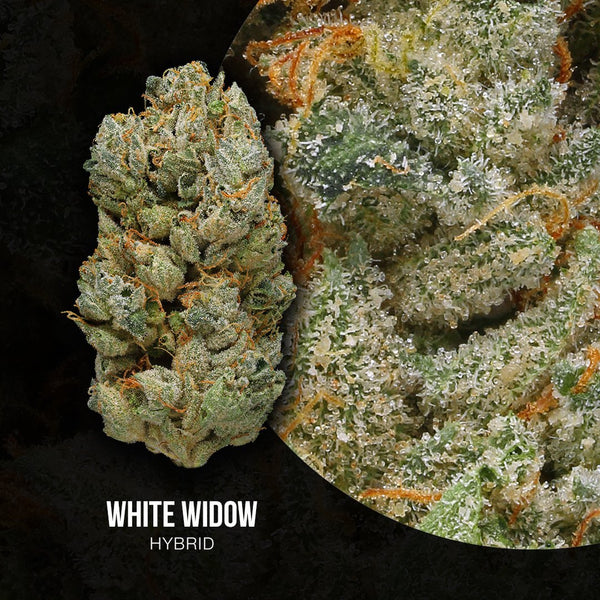 best gdw white widow strain organic cannabis green door west