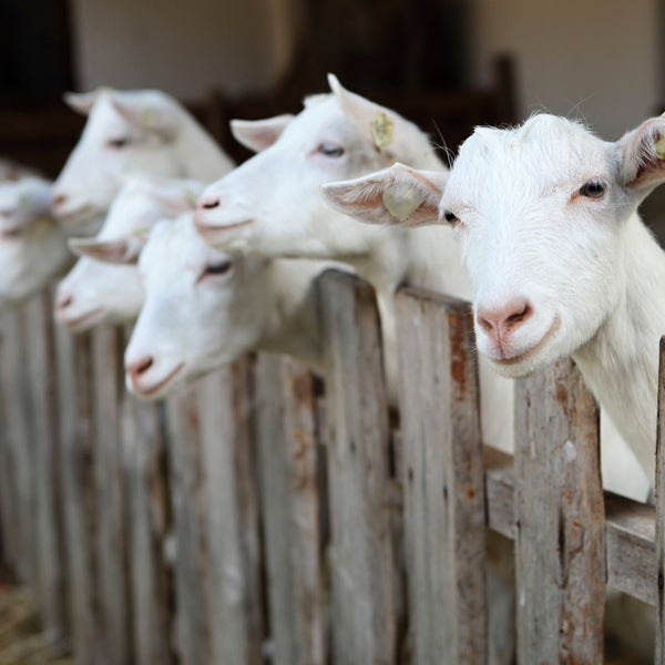 The Top 3 Benefits of Goat Milk for Skin
