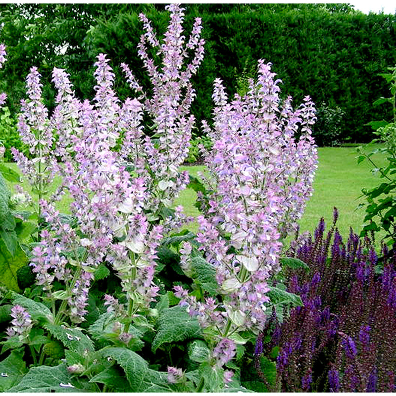 Clary Sage Essential Oil For Anxiety