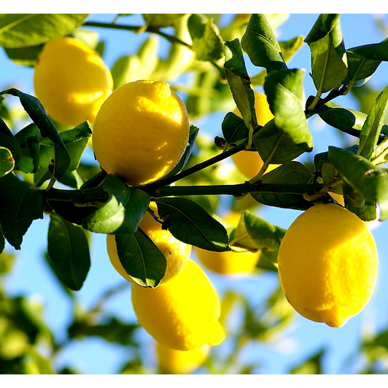 Lemon Essential Oil For Anxiety Relief