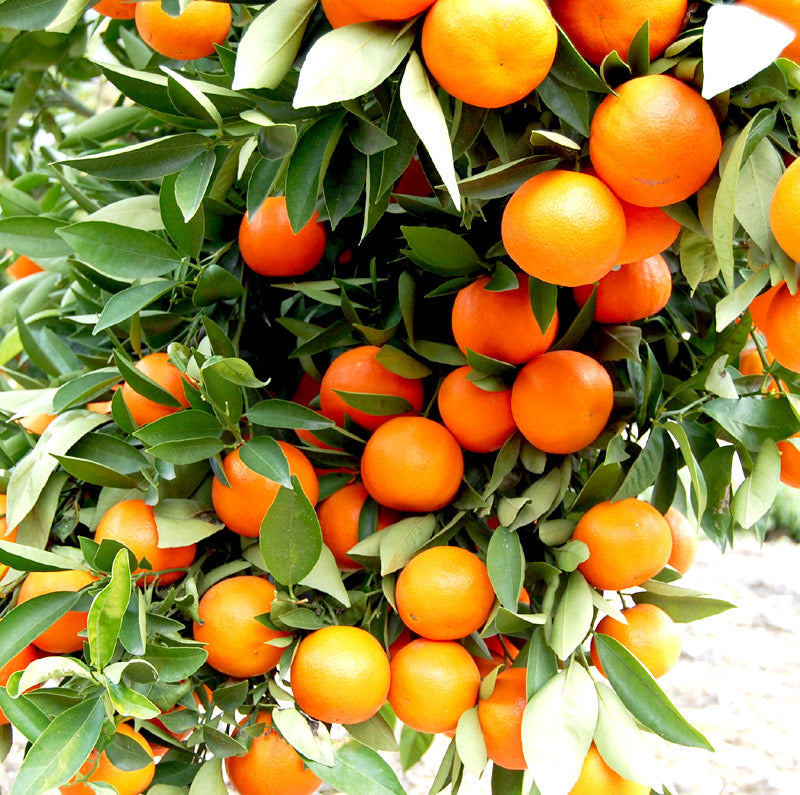 Tangerine Essential Oil For Anxiety Relief