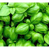 Basil Essential Oil - The Hippie House