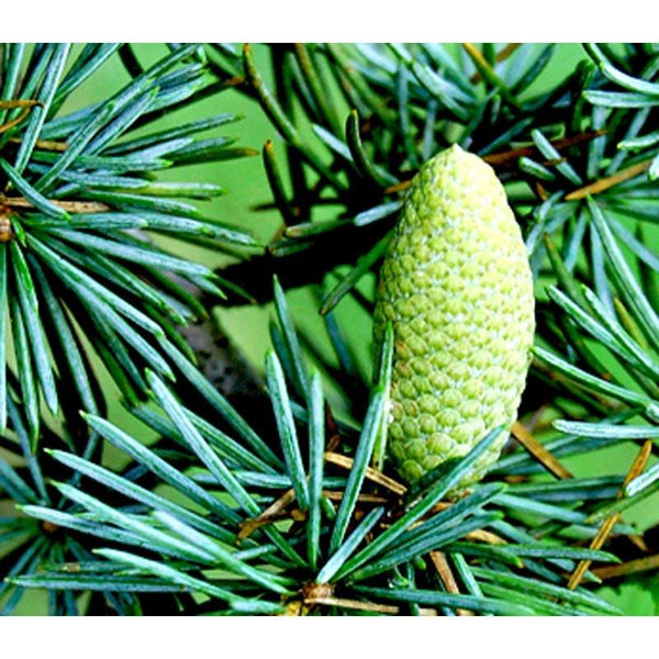 Cedarwood Himalayan Essential Oil - The Hippie House