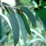 Eucalyptus Essential Oil - The Hippie House