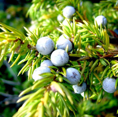 Juniper Berry Essential Oil - The Hippie House