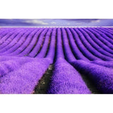 French Lavender Essential Oil - The Hippie House