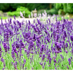 Lavender Spike Essential Oil - The Hippie House