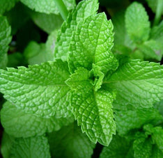 Peppermint Essential Oil - The Hippie House