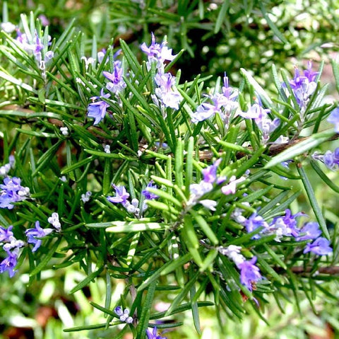 Rosemary Essential Oil - The Hippie House