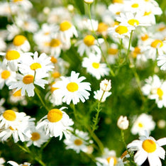 Chamomile Essential Oil - The Hippie House