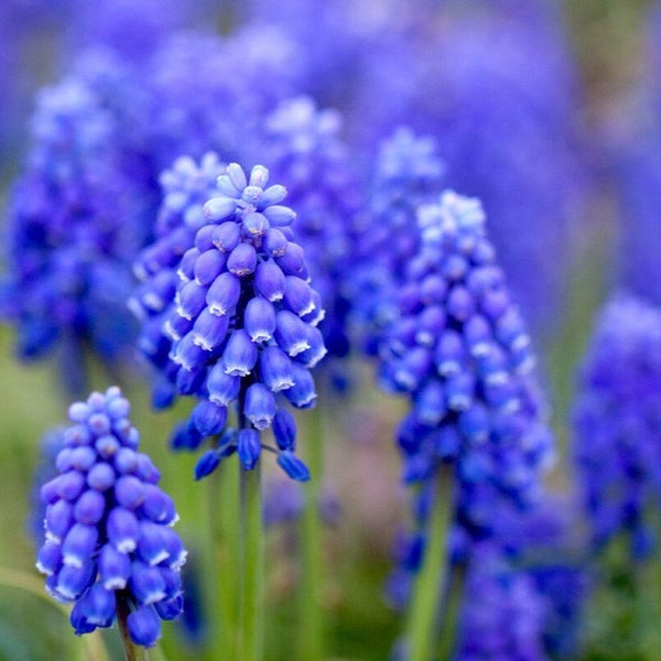 Hyacinth Essential Oil - The Hippie House