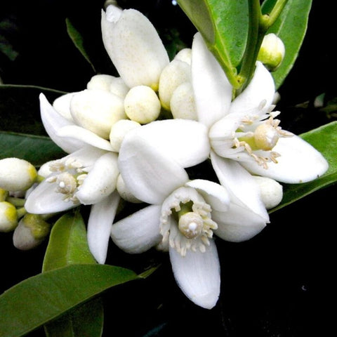 Neroli Essential Oil - The Hippie House
