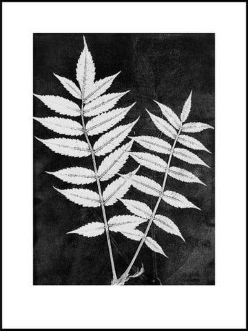 Black and White Sumac Limited Edition print