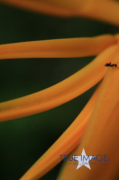 Ant on a flower - Pulau Ubin, Singapore