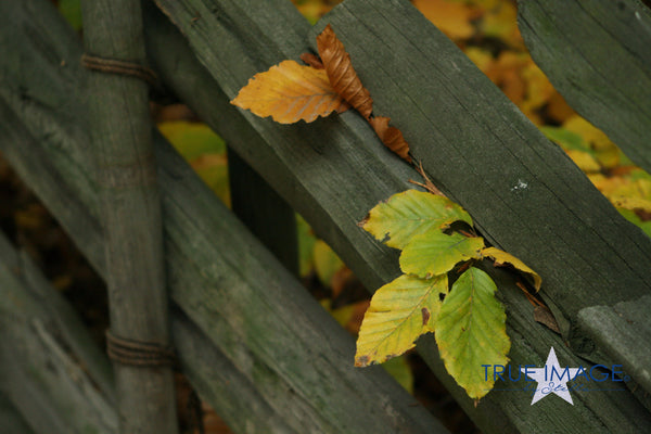 Autumn Leaves in Gärdsgård Fence - Stockholm, Sweden