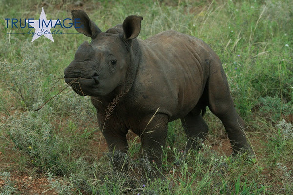 Baby Rhino - Nyati Game Park, South Africa
