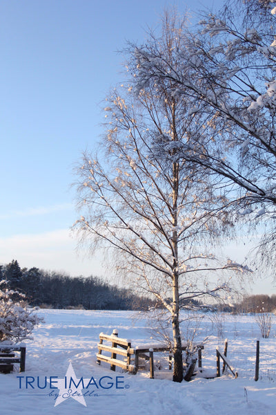 Birch tree on a cold day - Stockholm, Sweden