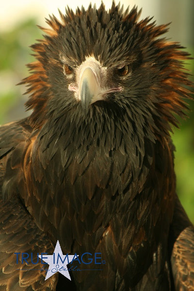 Wedge Tailed Eagle - Aileron, Australia
