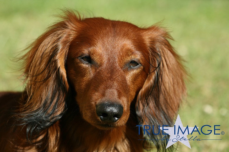 Young Longhaired Dachshund in the spring sun - Stockholm, Sweden