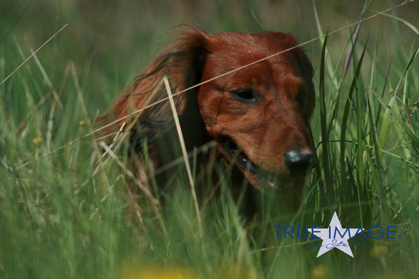 Longhaired Dachshund in tall grass - Stockholm, Sweden