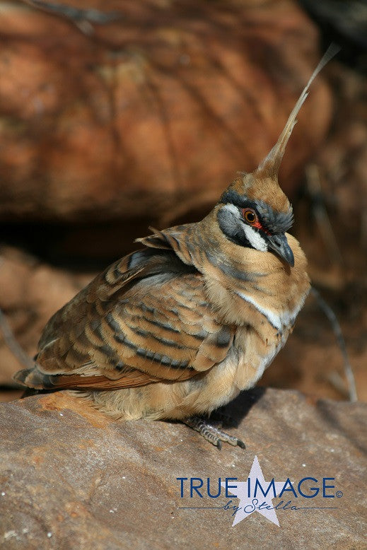 Spinifex Pigeon - Kings Canyon, Watarrka National Park, Australia
