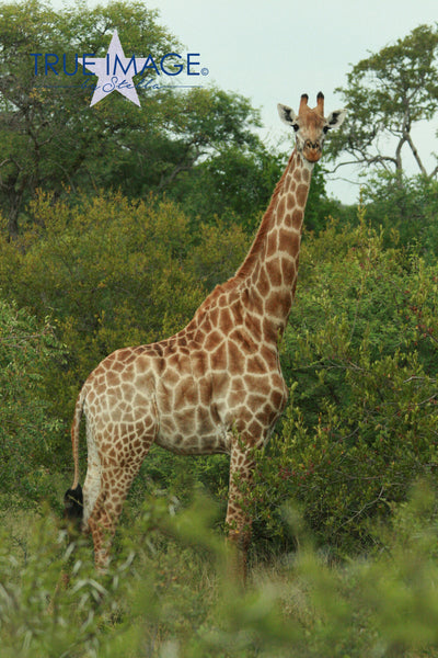 Giraffe - Nyati Game Park, South Africa