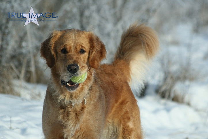 Golden Retriever with a tennisball - Stockholm, Sweden