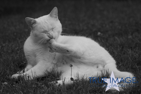 White cat grooming - Stockholm, Sweden