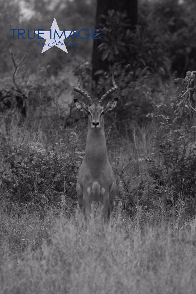 Invisible impala - Krüger Park, South Africa