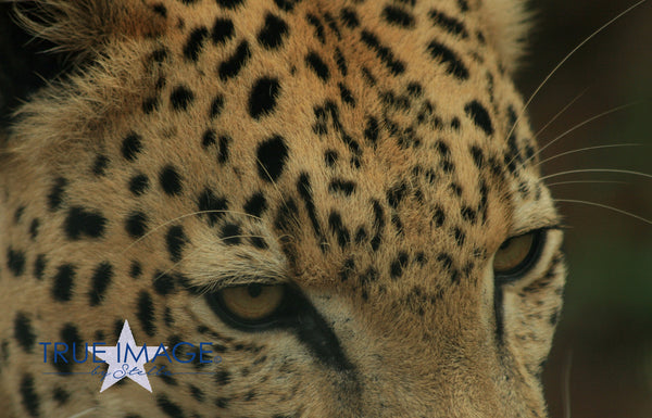 Leopard stare - South Africa