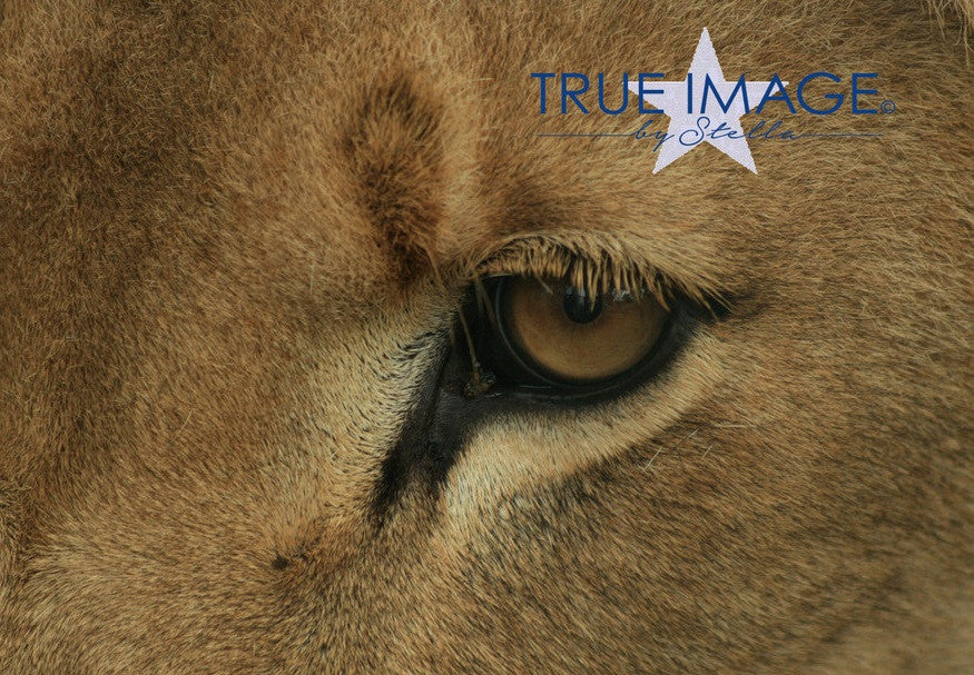 Lion eye - South Africa