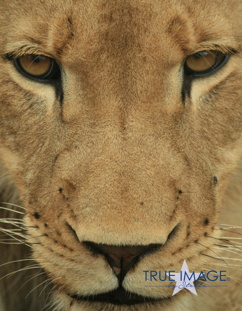 Lion Prince - South Africa