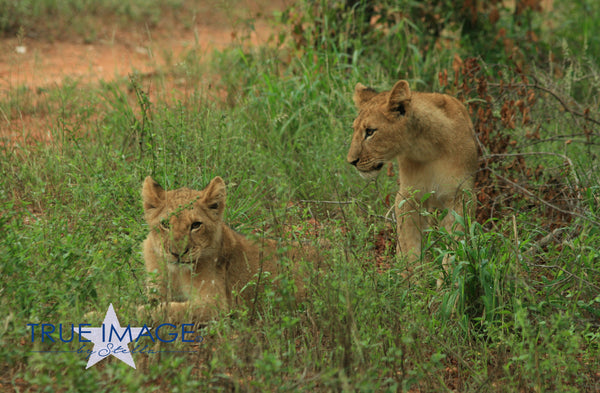 Lion cubs - South Africa