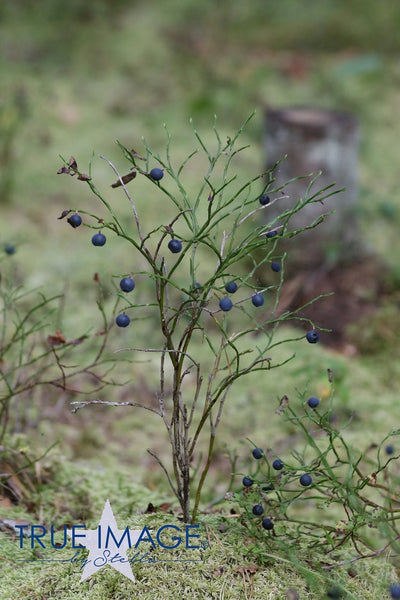 Lone Blueberry Bush - Stockholm, Sweden