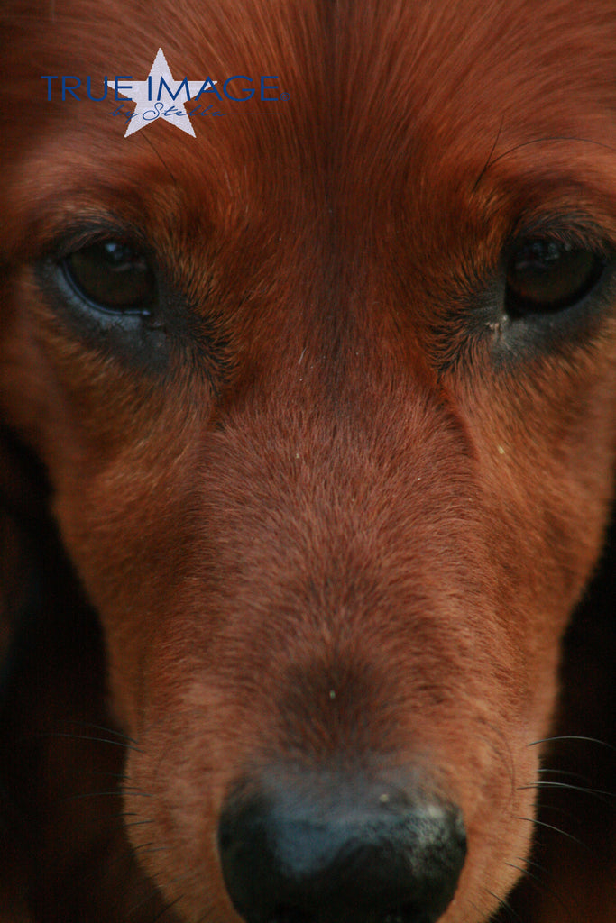 Longhaired Dachshund Close Up - Stockholm, Sweden