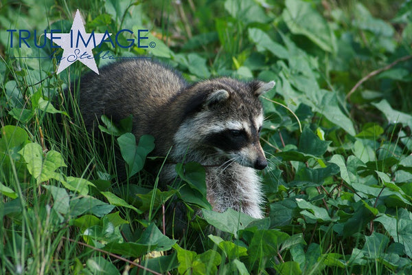 Raccoon - Everglades National Park, Florida, USA