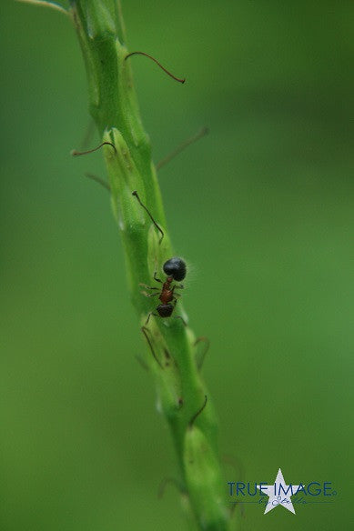 Ant on a stem - Pulau Ubin, Singapore