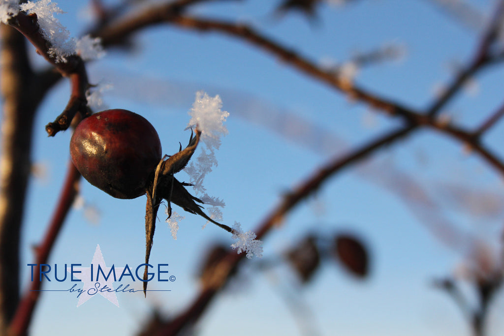 Triptych 1 - Rosehips on a cold day